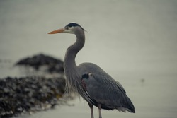 Blue heron near the rocks in the ocean