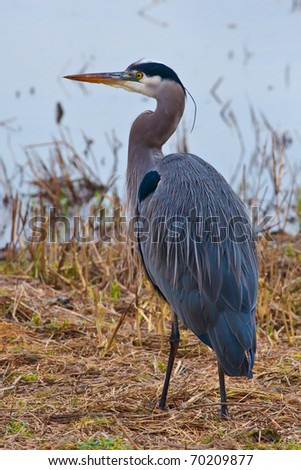 Blue Heron standing by some water.