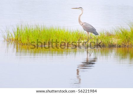 blue heron wading in marsh grasses