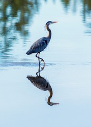 Blue heron wading in water with reflection