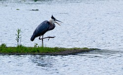 Blue heron with beak open and leg up