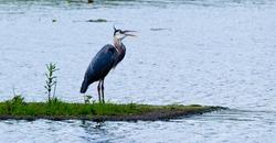 Blue heron with open beak