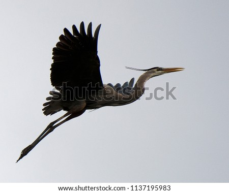Blue Herons in its environment.