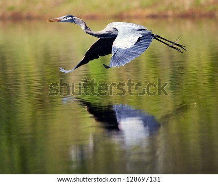 Blue Herring mid flight with an awesome reflection