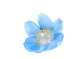 Blue himalayan poppy isolated on white background