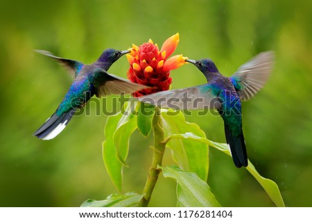 Blue hummingbird Violet Sabrewing flying next to beautiful red flower. Tinny bird fly in jungle. Wildlife in tropic Costa Rica. Two bird sucking nectar from bloom in the forest. Bird behaviour.