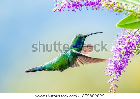 Photo of  Blue hummingbird Violet Sabrewing flying next to beautiful red flower. Tinny bird fly in jungle. Wildlife in tropic Costa Rica. Two bird sucking nectar from bloom in the forest. Bird behaviour