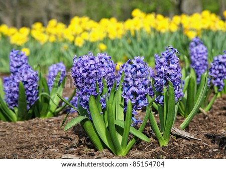 Blue hyacinth in a flower bed with yellow daffodils in the background.