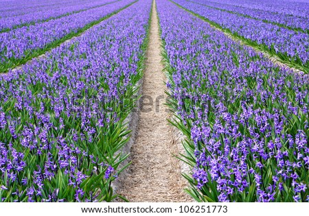 Blue hyacinths growing in the field, shallow depth of field.