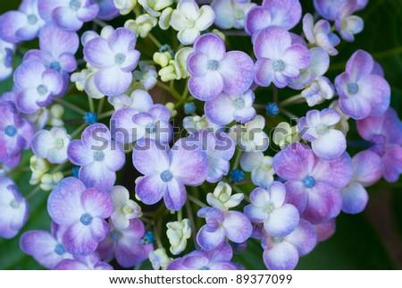 Blue Hydrange spring flowers close-up