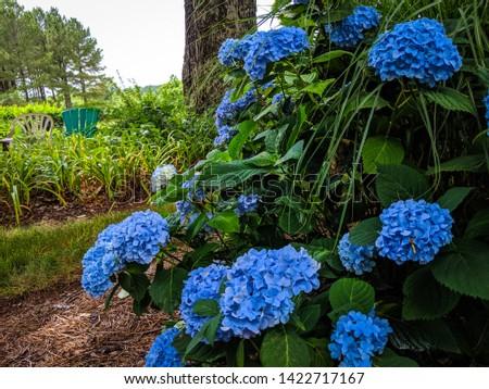 blue hydrangea bush (Hydrangea arborescens L.) with multiple blooms. two chairs in background beside a big oak tree. Stock fotó ©