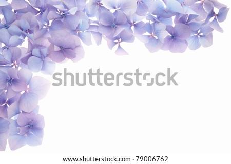 Blue hydrangea flower border isolated on white background