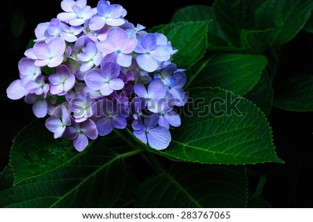 Blue Hydrangea flower. Hydrangea - common names Hydrangea and Hortensia.