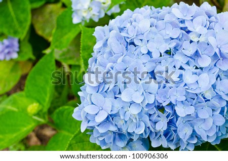 Blue Hydrangea flower in the garden.