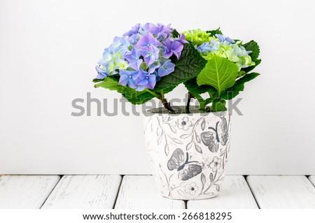 blue hydrangea flowers on white ...