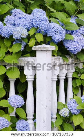 Blue hydrangea frame an old wooden fence.