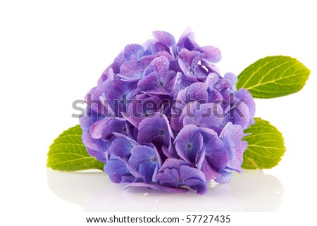 blue Hydrangea from the garden isolated over white