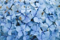 Blue Hydrangea (Hydrangea macrophylla) or Hortensia flower or blue flower. Shallow depth of field for soft dreamy feel.