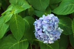 Blue Hydrangea in the garden.