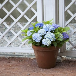 blue hydrangea in the pot at the white fence