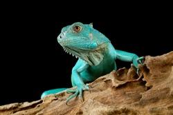 Blue Iguana closeup head, Blue Iguana