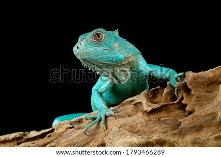 Blue Iguana closeup head, Blue Iguana 'Grand Cayman Blue Iguana', Cyclura Lewisi  Zdjęcia stock ©