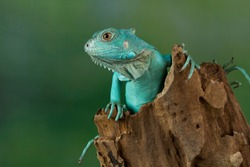 Blue Iguana closeup on branch, Blue Iguana