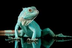 Blue Iguana closeup on branch with black backgrond, Blue Iguana