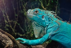 Blue Iguana in green planet dubai. Lizard on branch with green tropical leaves in background