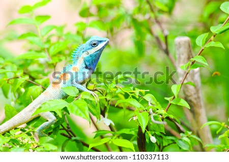 Blue iguana in the nature