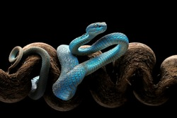 Blue Insularis is venomous pit vipers and endemic species in Indonesia. The color is unique, namely turquoise blue.