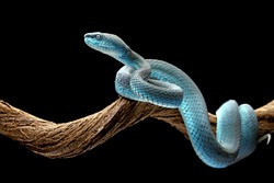 Blue Insularis or White lipped pit viper (Trimeresurus insularis) is venomous pit vipers and endemic species in Indonesia. The color is unique, namely turquoise blue.