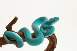 Blue Insularis (Trimeresurus Insularis) White-lipped Island Pit Viper on white background