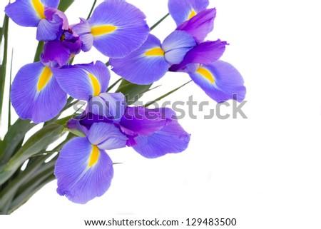 blue  irises flowers  isolated on white background