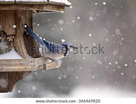 Stock Photo Blue Jay at Bird Feeder Winter Snow Storm Canada
