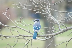 Blue Jay bird perched on tree. Interacting with people. Birdwatching in Northern Ontario. Closeup colourful beautiful foul.
