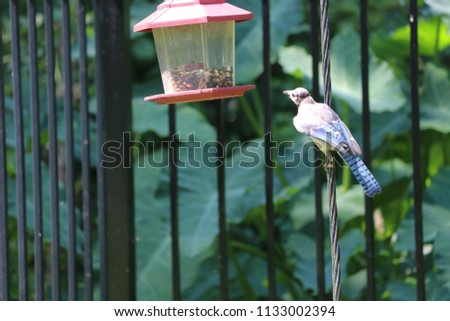 Blue jay bird songbird flying onto and perched on backyard garden feeder.