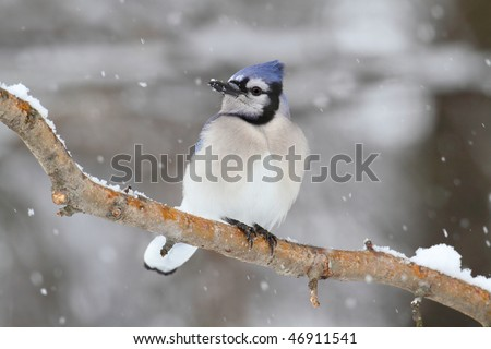 Blue Jay (corvid cyanocitta) in an apple tree with snow falling