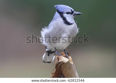 Blue Jay (corvid cyanocitta) on a stump in winter - stock photo