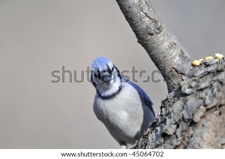 Blue Jay: Cyanocitta cristata. An adult Blue Jay photographed in Central Park, Manhattan on a cold winter morning