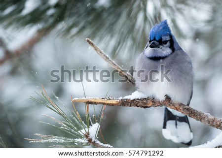 Stock Photo Blue Jay - Cyanocitta cristata, perched in a branch during a snow storm.