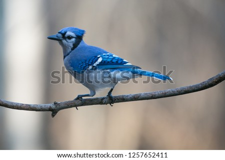 Blue Jay (cyanocitta cristata) perched on a branch in December