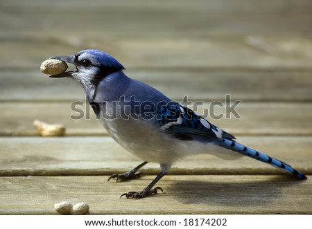 Blue Jay eating a peanut