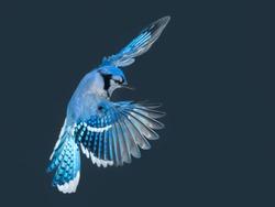 Blue Jay in Flight in Winter