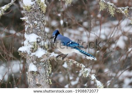 Blue Jay in Winter Sax-Zim Bog Minnesota Zdjęcia stock ©