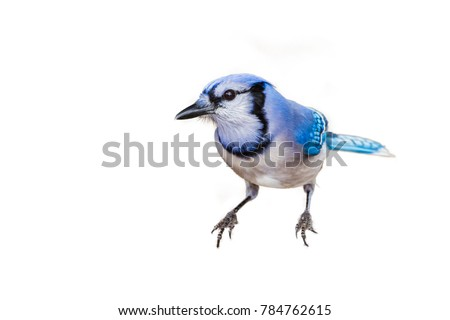 Blue Jay isolated on white background