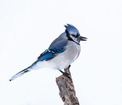 Blue Jay on White Background, Isolated
