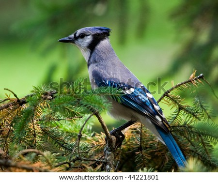 Blue Jay perched in a tree