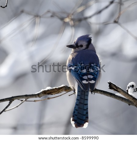 Stock Photo Blue Jay perched on a tree branch with a snowy background