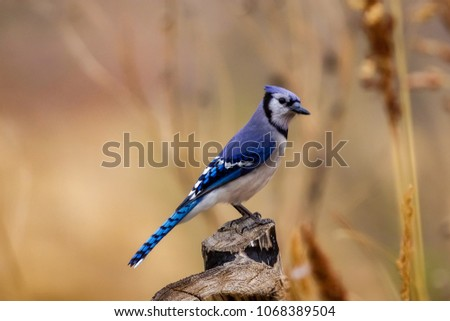 Blue Jay perched on tree stump #1068389504